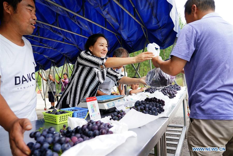 Grape Plantation Helps Households Get Rid of Poverty in Laoa